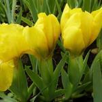 Zwaardlelie - Iris pumila 'Brassie'