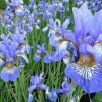 Siberische lis - Iris sibirica 'Persimmon'