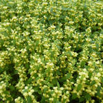 Lamiastrum galeobdolon - Gele dovenetel - Lamiastrum galeobdolon