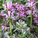 Lamium maculatum 'Chequers' - Gevlekte dovenetel - Lamium maculatum 'Chequers'