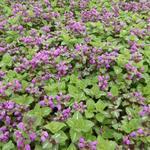 Lamium maculatum 'Roseum' - Gevlekte dovenetel - Lamium maculatum 'Roseum'