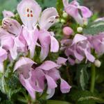Lamium maculatum 'Shell Pink'  - Gevlekte dovenetel - Lamium maculatum 'Shell Pink'