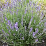 Lavandula angustifolia 'Siesta' - Lavandula angustifolia 'Siesta' - Lavendel