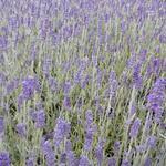 Lavandula x chaytoriae 'Richard Gray' - Lavendel - Lavandula x chaytoriae 'Richard Gray'