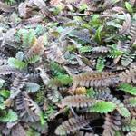 Speldenkussenplant - Leptinella potentillina