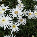 Margriet, Reuzenmargriet, Grootbloemige margriet - Leucanthemum 'Christine Hagemann'