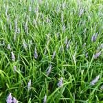 Leliegras - Liriope muscari 'Big Blue'
