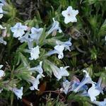 Lithodora diffusa 'Cambridge Blue' - Parelzaad/Steenzaad - Lithodora diffusa 'Cambridge Blue'