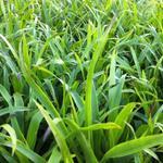 Grote veldbies - Luzula sylvatica