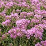 Alpenkoekoeksbloem, Alpenpekanjer - Lychnis alpina 'Rosea'