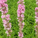 Kattenstaart - Lythrum salicaria 'Blush'