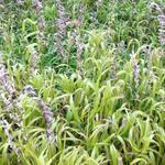 Parelgras - Melica altissima 'Atropurpurea'
