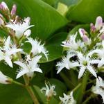 Menyanthes trifoliata - Waterdrieblad,Waterklaver - Menyanthes trifoliata