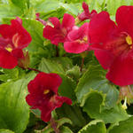 Mimulus cupreus 'Roter Kaiser'  - Maskerbloem - Mimulus cupreus 'Roter Kaiser'