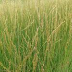 Pijpenstrootje - Molinia caerulea subsp. caerulea 'Heidebraut'
