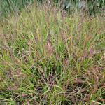 Molinia caerulea subsp. caerulea 'Rotschopf' - Pijpenstrootje - Molinia caerulea subsp. caerulea 'Rotschopf'
