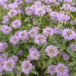 Bergamotplant - Monarda fistulosa