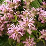Bergamotplant - Monarda 'Croftway Pink'