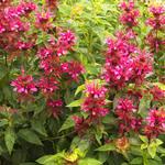 Bergamotplant - Monarda