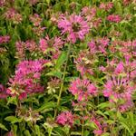 Monarda 'Marshall's Delight' - Bergamotplant - Monarda 'Marshall's Delight'