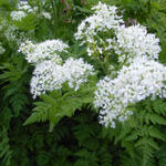 Myrrhis odorata - Roomse - doorlevende kervel - Myrrhis odorata