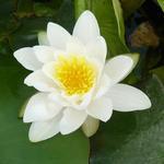 Nymphaea alba  - Waterlelie - Nymphaea alba