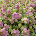 Marjolein - Origanum rotundifolia 'Kent Beauty'