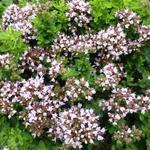 Wilde marjolein, oregano - Origanum vulgare 'Compactum'