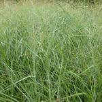 Vingergras - Panicum virgatum 'Prairie Sky'