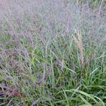 Vingergras - Panicum virgatum 'Shenandoah'