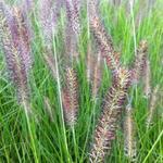 Lampepoetsersgras - Pennisetum alopecuroides 'Cassian'