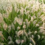 Pennisetum alopecuroides 'Goldstrich' - Lampenpoetsersgras - Pennisetum alopecuroides 'Goldstrich'