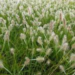 Pennisetum alopecuroides 'Little Bunny' - Lampepoetsersgras - Pennisetum alopecuroides 'Little Bunny'