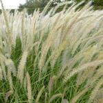 lampenpoetsergras - Pennisetum orientale 'Fairy Tails'