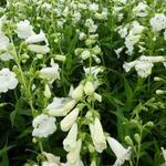 Penstemon 'White Bedder' - Schildpadbloem - Penstemon 'White Bedder'