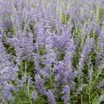 Russische salie - Perovskia atriplicifolia 'Lacey Blue'
