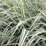 Rietgras, Kanariegras, Bont rietgras - Phalaris arundinacea var. picta 'Picta'