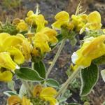 Phlomis fruticosa - Brandkruid - Phlomis fruticosa