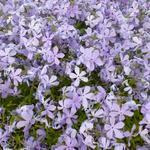 Vlambloem, Floks - Phlox divaricata 'Clouds of Perfume'