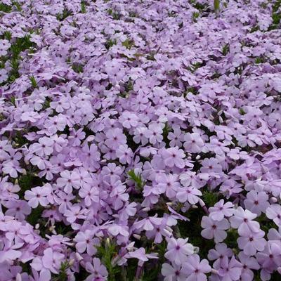 Phlox douglasii 'Lilac Cloud' - Dwergvlambloem - Phlox douglasii 'Lilac Cloud'