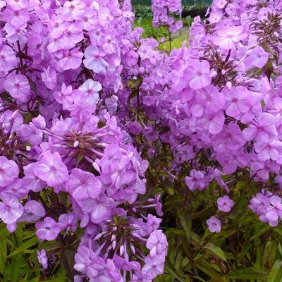 Phlox maculata 'Alpha' - Floks, vlambloem - Phlox maculata 'Alpha'