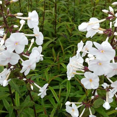 Phlox maculata 'Omega' - Vlambloem, floks - Phlox maculata 'Omega'