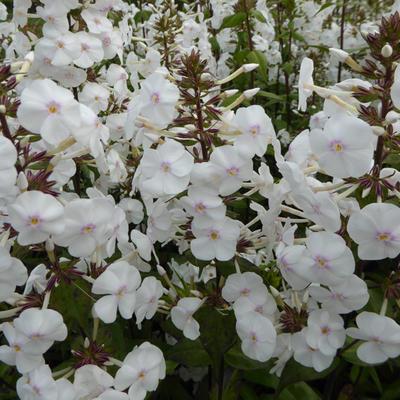 Phlox maculata 'Schneelawine' - Floks, vlambloem - Phlox maculata 'Schneelawine'