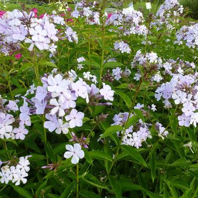 Phlox paniculata -
