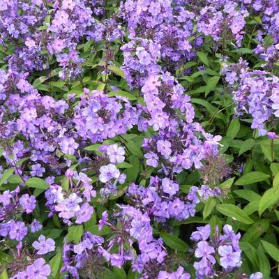 Phlox paniculata 'Blue Paradise' - Vlambloem - Phlox paniculata 'Blue Paradise'