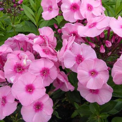 Phlox paniculata 'Herbstwalzer' - Vlambloem - Phlox paniculata 'Herbstwalzer'