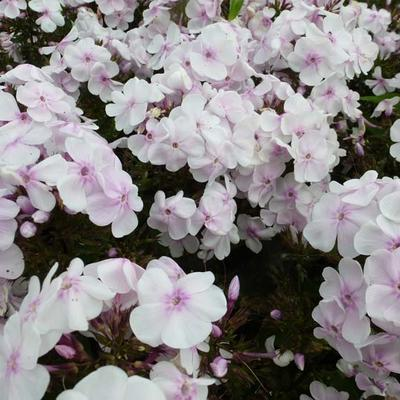 Phlox paniculata 'Monica Lynden-Bell' - Floks, vlambloem - Phlox paniculata 'Monica Lynden-Bell'