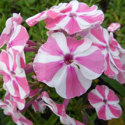 Phlox paniculata 'Peppermint Twist' -