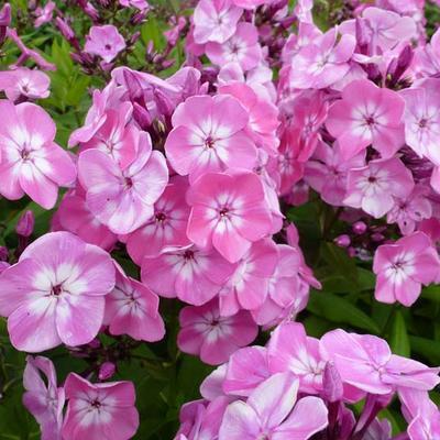 Phlox paniculata 'Pink Eye FLAME' -