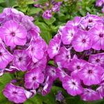 Vlambloem - Phlox paniculata 'Purple Eye FLAME'
